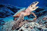 hawksbill turtle, Eretmochelys imbricata, Sipadan Island, Sabah, Malaysia, Pacific Ocean