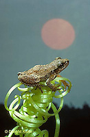 FR16-044z  Spring Peeper Tree Frog -sitting on pumpkin tendril with sun in back ground -  Pseudacris crucifer, formerly Hyla crucifer