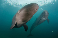 false killer whales, Pseudorca crassidens (c,dm)