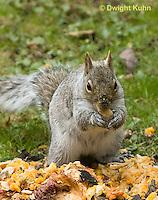 MA23-546z  Gray squirrel eating pumpkin fruit and seeds, Sciurus carolinensis