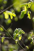 Gewöhnliche Hasel, Blatt, Blätter, Blattentfaltung im Frühjahr, Haselnuß, Haselnuss, Corylus avellana, Cob, Hazel, Coudrier, Noisetier commun
