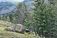Black Bear (Ursus americanus)--sow and cubs.  Wyoming.  May.