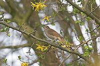 Nachtigall, Luscinia megarhynchos, Nightingale, Rossignol philomèle