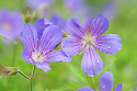 Geranium 'Nimbus', early June. Originally bred at Axletree Nursery from G. clarkei 'Kashmir Purple x G. collinum. Forms a mound 60-90cm across of finely-cut leaves smothered in summer with repeat-flowering bluish-purple flowers.