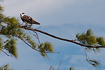 Perched Osprey