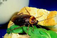 OR13-024c   American Cockroach eating sandwich - Periplaneta americana
