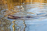 American Beaver (Castor canadensis) swimming in small beaver pond.  Western U.S., May.
