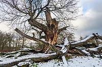 Jahrhunderte alte Eiche im Park Sacrow im Winter, Potsdam, Brandenburg, Deutschland