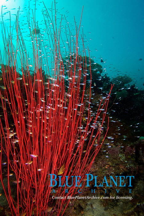 Red whip coral, ellisella sp., with glass fish. Raja Ampat, West Papua, Indonesia