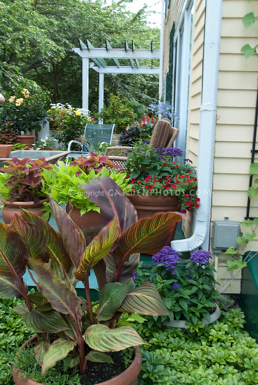 Canna lily, backyard home garden with pots