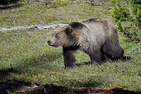 Grizzly Bear, Grand Tetons