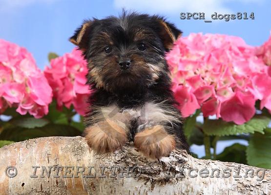 Xavier, ANIMALS, dogs, photos, SPCHDOGS814,#A# Hunde, perros