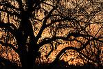 Brazoria County, Damon, Texas; orange sunset skies silhouette the branches of a live oak tree