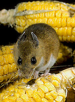 MU54-015z  White-Footed Mouse - eating corn -  Peromyscus leucopus