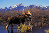 "BULL MOOSE  The name 'moose"" is derived from the Algonkian name that means ""eater of twigs""   Autumn..Grand Teton National Park. USA. (Alces alces)."