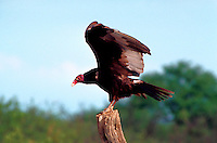 Turkey   American Vulture (Cathartes aura - Cathartidae). Arizona.