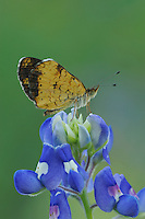 Pearl Crescent (Phyciodes tharos), adult on Texas Bluebonnet (Lupinus texensis), Fennessey Ranch, Refugio, Corpus Christi, Coastal Bend, Texas Coast, USA