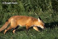 FX03-019z  Red Fox - Vulpes vulpes