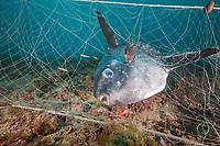 Sunfish trapped in lost Fishing Net, Mola mola, Cap de Creus, Costa Brava, Spain, Mediterranean Sea, Atlantic