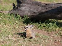 Bat-eared Fox, Masai Mara