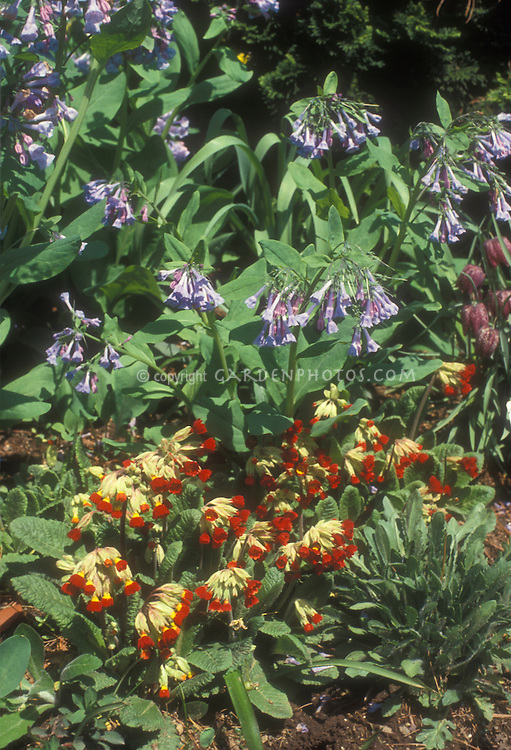 Spring flower garden combination: red Primula veris cowslips and Mertensia Virgina bluebells in planting combination
