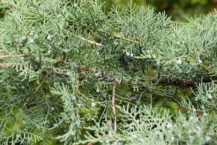 Chinesischer Wacholder, Juniperus chinensis, Chinese Juniper