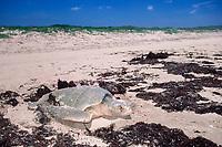 Kemp's ridley sea turtle, Lepidochelys kempii, covers nest after laying eggs, Rancho Nuevo, Mexico, Gulf of Mexico, Caribbean Sea, Atlantic Ocean