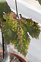 Black sooty mould on the leaves of a greenhouse-grown grape vine. The mould grows on the honeydew excreted by glasshouse whitefly.