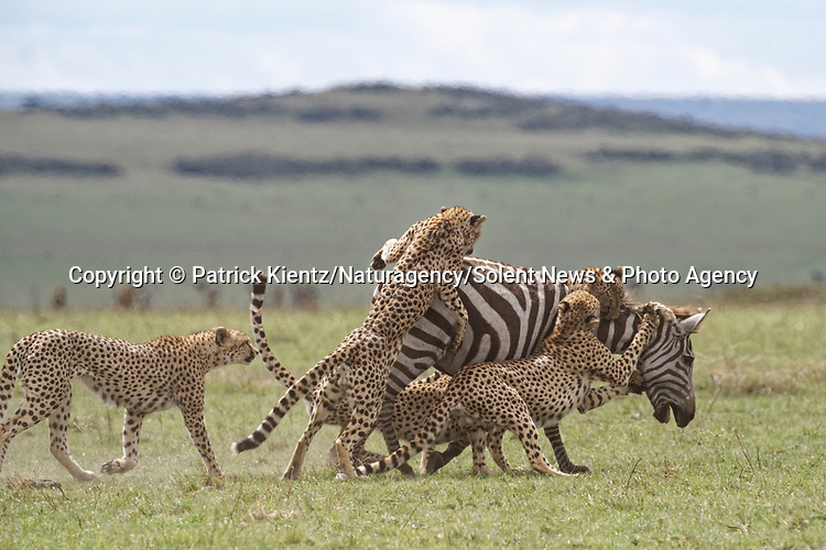 NOTE FOR ONLINE:  MAXIMUM OF 10 IMAGES TO BE USED FROM SET - UNLESS OTHERWISE AGREED.<br /> <br /> Sequence 7 of 16:  Cheetahs are forced to sit and watch hyenas eat their hard-fought kill after they arrived late and claimed it for their own.  The unlucky coalition of five cheetahs spent 30 minutes hunting and killing the zebra at the Masai Mara National Reserve, Kenya.<br /> <br /> But, just as the group of siblings were about to eat their prey, opportunistic hyenas arrived and claimed the carcass as their own. SEE OUR COPY FOR DETAILS.<br /> <br /> Please byline: Patrick Kientz/Naturagency/Solent News<br /> <br /> © Patrick Kientz/Naturagency/Solent News & Photo Agency<br /> UK +44 (0) 2380 458800