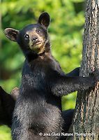 Black Bear spring cub (Ursus americanus) climibing a tree, Northern Minnesota.