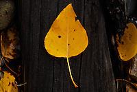 Single yellow aspen leaf lying on a fallen tree trunk in Montana