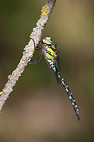Blaugrüne Mosaikjungfer, Blaugrüne-Mosaikjungfer, Männchen, Aeshna cyanea, Aeschna cyanea, blue-green darner, southern aeshna, southern hawker, blue hawker, male, L'Æschne bleue