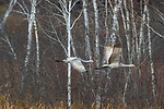 Sandhill cranes flying over Crex Meadows Wildlife Area.