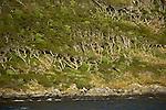 végetation tordue par les vents violents qui balayent le détroit de Murray.vegetation shaped by the wind in the Murray channel.