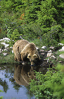 Braunbär, Braun-Bär, Bär, Ursus arctos, brown bear