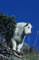 Mountain Goat (Oreamnos americanus), young, Mt Evans, Rocky Mountains, Colorado, USA