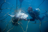 tiger shark, Galeocerdo cuvier, juvenile, caught in submerged shark net, placed around beaches to reduce shark attacks on swimmers, maintained by KwaZulu-Natal Sharks Board and its scuba diver with Shark Shield, formerly known as Protective Oceanic Device (POD), removing the dead shark from the net, Durban, KwaZulu-Natal, South Africa, Indian Ocean