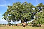 Herd of African Elephants (Loxodonta africana) feeding beneath a wild mango tree. South Luangwa National Park, Zambia.