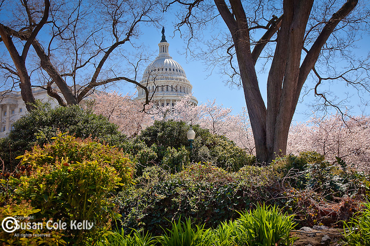 Round shrubbery and the dome of the The United States Capitol, Washington, DC, USA
