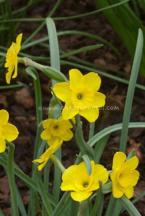 Rupicola Daffodil, species Narcissus rupicola in yellow spring blooms