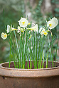 Narcissus 'Arctic Bells', early March. A dwarf cultivar of N. bulbocodium, often referred to as the hoop petticoat daffodil.