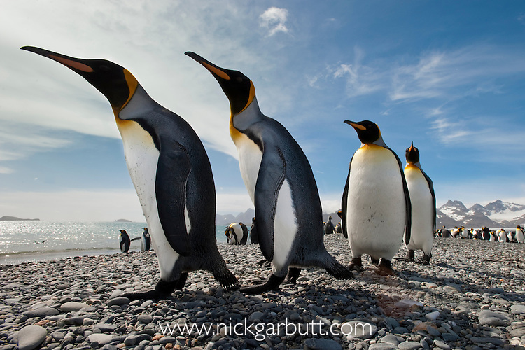 King Penguins (Aptenodytes patagonicus) on the beach at Salisbury Plain, South Georgia, South Atlantic.