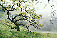 Quercus douglasii (Blue Oak) tree in spring hills with mist