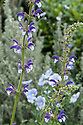 Mixed planting of shrubs and perennials. The bicoloured salvia is Salvia 'Madelaine'. Arthritis Research UK Garden, designed by Thomas Hoblyn, RHS Chelsea Flower Show 2012.