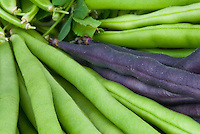 Beans, harvested, with purple beans Dwarf Purple Teepee & Cropper Teepee (top), Kentucky Wonder (bottom)