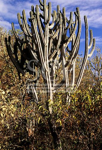 San Pedro, Peru. Columnar shrubby cacti.
