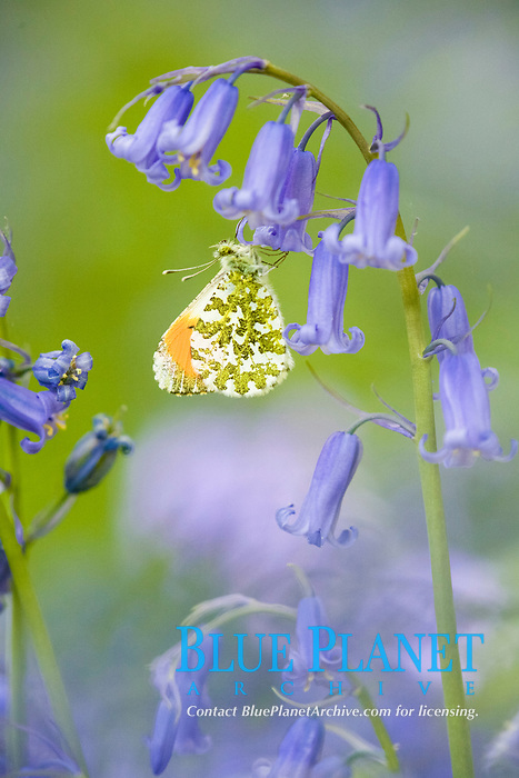 Orange-tip Butterfly (Anthocharis cardamines), adult male, resting on Bluebell (Endymion non-scriptus), flower in woodland, Peak District, Derbyshire, England, United Kingdom, Europe
