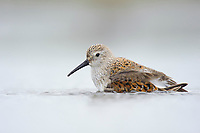Adult Dunlin (Calidris alpina) molting into breeding (alternate) plumage bathing during spring migration. Gray's Harbor County, Washington. April