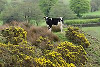 Dairy heifer and gorse bushes, Chipping, Preston, Lancashire. UK.