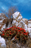 A Claret-cup Hedgehog cactus (Echinocereus trilochidiatus)in full bloom, tucked into a contrasting rock niche. Arizona.